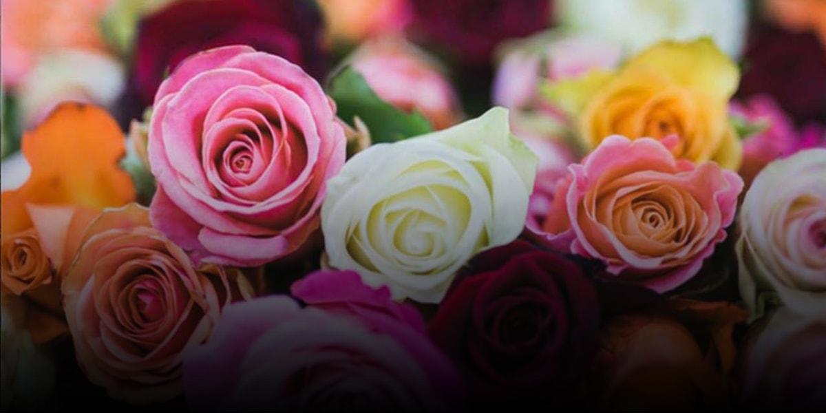 8. The different type of Rose in the world-min