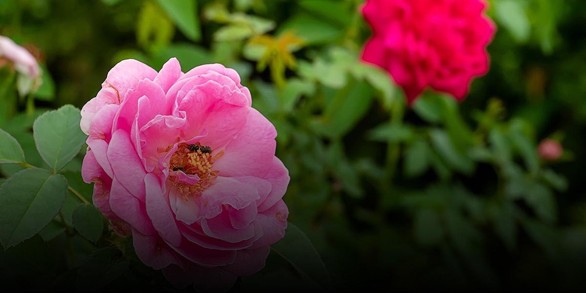 9. Iran Red flower or Damask Rose-min