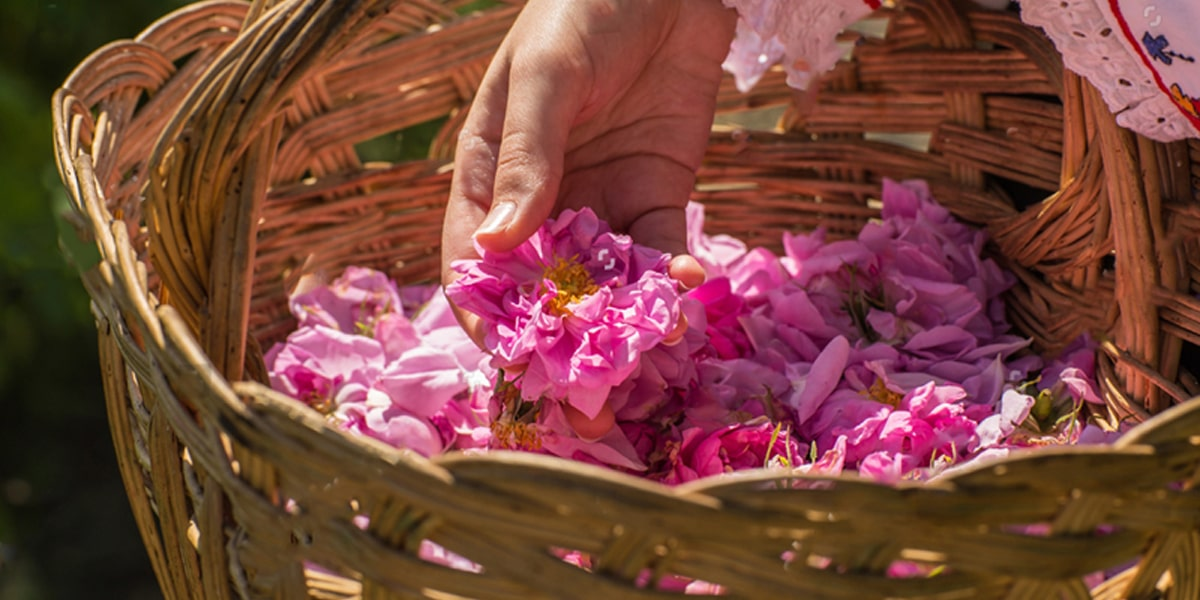 Rose water kashan and Persian Culture