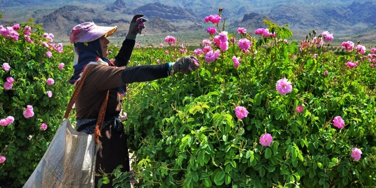 Where you should look for the Rose Water festival in Kashan