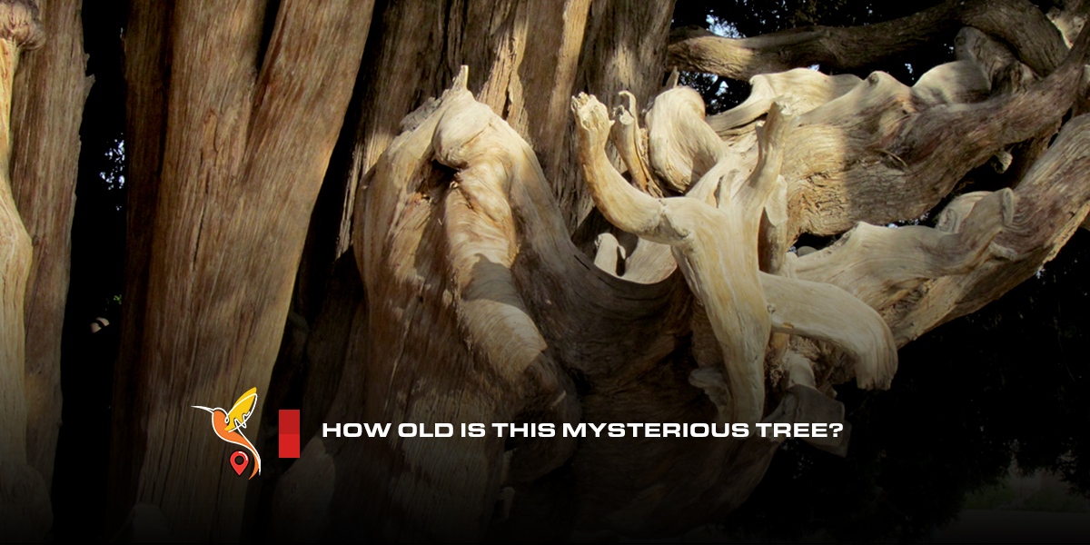 How-old-is-this-mysterious-tree