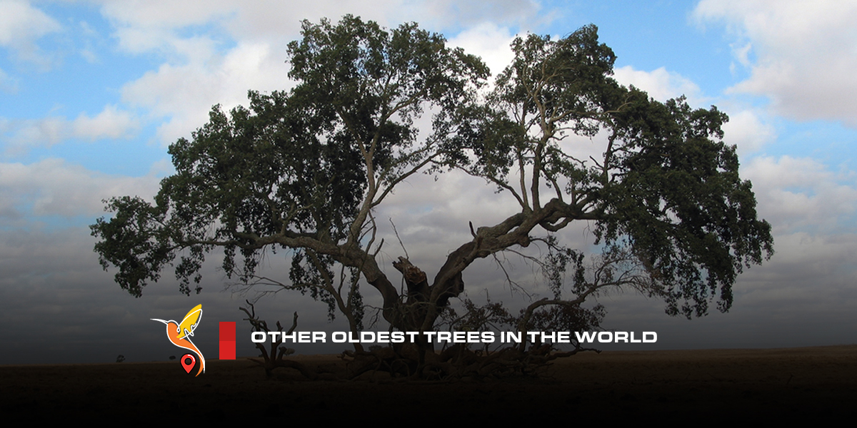 Other-oldest-trees-in-the-world