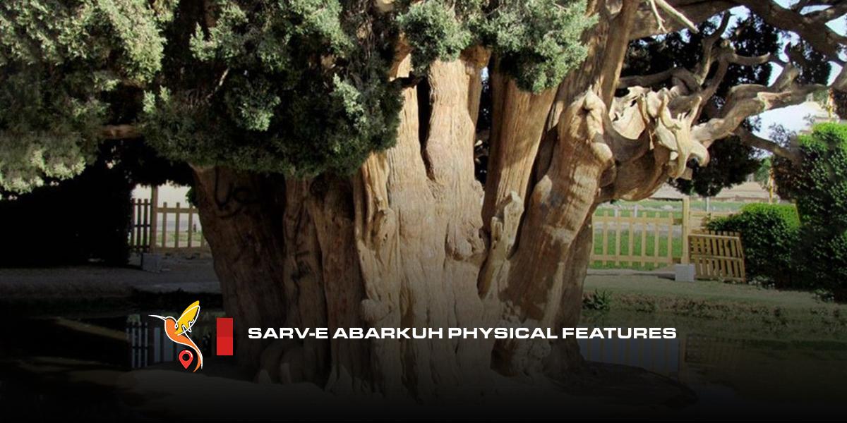 Sarv-e-Abarkuh-physical-features