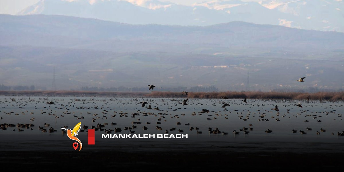 Miankaleh beach a resort for different birds in mazandaran province