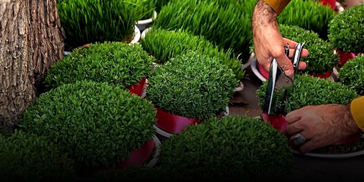 Growing greenery or sabzeh before Nowruz