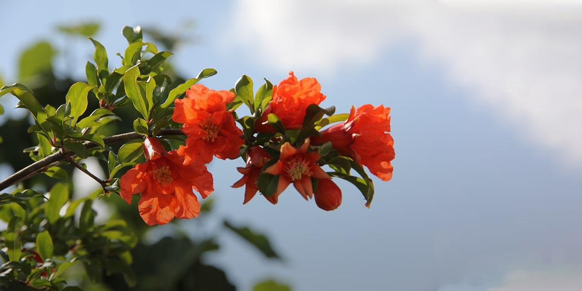 1-4. Gulnar (the pomegranate flower)-min