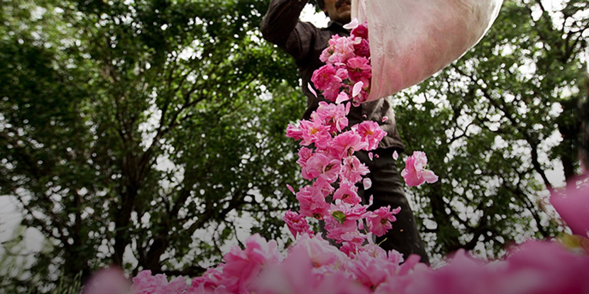 Damask rose and Rosewater festival