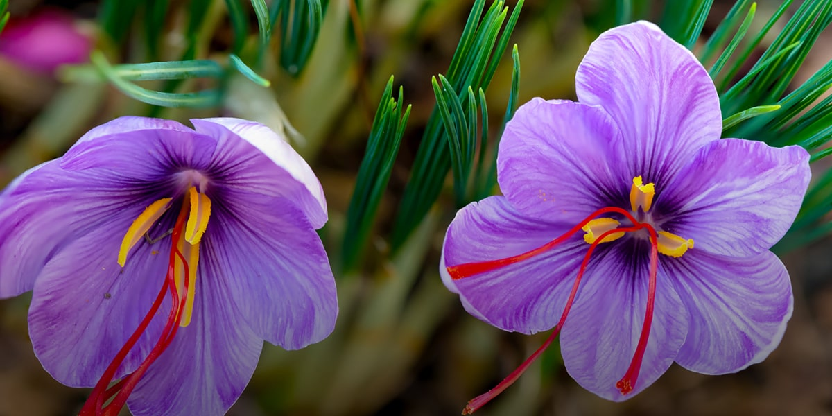 Expensive Persian flower, Saffron Crocus or Crocus Sativus